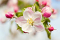 Blossoming flowers of an apple tree closeup brunch with white Royalty Free Stock Images