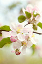 Blossoming flowers of an apple tree closeup brunch with white Royalty Free Stock Photos