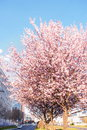 Blossoming flowers tree in park at early spring seson Royalty Free Stock Photo