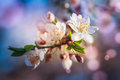 Blossoming of fruit tree during spring. View close-up of branch with white flowers and buds in bright colors. Royalty Free Stock Photo
