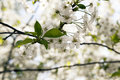 The blossoming fruit trees flowers of photographed by a close up spring season Stock Image