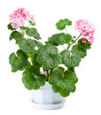 Blossoming geranium in pot Stock Photos