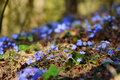 Blossoming hepatica flower in early spring Royalty Free Stock Photo