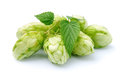 Blossoming hop with leaves on a white background Stock Image