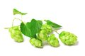 Blossoming hop on white  Stock Photography
