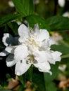 Blossoming jasmin. A garden. Stock Photos