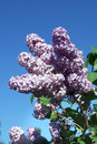 Blossoming lilac branch a of a spring Stock Photo