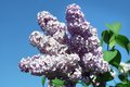 Blossoming lilac branch a of a spring Stock Image