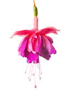 Blossoming lilac a fuchsia, isolated on white background Royalty Free Stock Photo