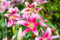 Blossoming lilies in the garden zephyranthes flower close up common names for species this genus include fairy lily rainflower Royalty Free Stock Photo