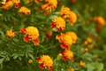 Blossoming marigold in bed Stock Images