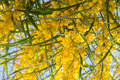 Blossoming of mimosa tree Acacia pycnantha,  golden wattle close up in spring, bright yellow flowers, coojong Royalty Free Stock Photo