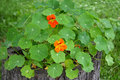 Blossoming nasturtium big, or the Capuchin big (Tropaeolum majus  L. ) Royalty Free Stock Photo