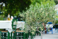 Blossoming olive tree in greek cafe Royalty Free Stock Photo