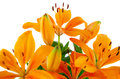 Blossoming orange lilies Royalty Free Stock Photo