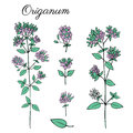 Blossoming Oregano flowers vector colorful doodle sketch hand drawn healing herb Marjoram isolated on white, botanical
