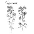 Blossoming oregano flowers vector ink doodle sketch hand drawn healing herb on white, vintage botanical
