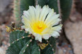 Blossoming Parodia cactus Royalty Free Stock Photo
