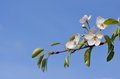 Blossoming pear tree branch Royalty Free Stock Photo