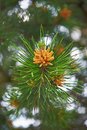 Blossoming pine serene day in may Stock Photography