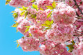Blossoming of pink cherry over blue sky. Sakura tree. Spring flo Royalty Free Stock Photo