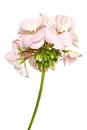 Blossoming pink geranium isolated on a white background Royalty Free Stock Image