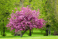 Blossoming pink tree in a park spring season Royalty Free Stock Photo