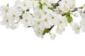 Blossoming plum flowers against white background Stock Photo