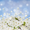 Blossoming plum flowers on blue sky background Stock Photography