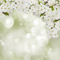Blossoming plum flowers in garden on green background Royalty Free Stock Photo