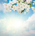 Blossoming plum flowers on sky background sunny blue Royalty Free Stock Photography
