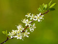 Blossoming plum tree Stock Photo
