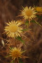 Blossoming prickle spiny yellow flower on a brown background Stock Photo