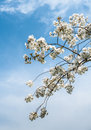 Blossoming prunus serrulata branches of a blooming japanese cherry tree in springtime against a blue sky Stock Photography