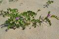Blossoming a rank seaside lathyrus maritimus l Royalty Free Stock Photo
