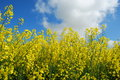 Blossoming rapeseed in spring with blue sky Stock Images