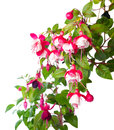 Blossoming red and white of a fuchsia is isolated alwin Stock Image