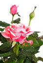 Blossoming rose plant with dew drops Royalty Free Stock Image
