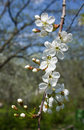 Blossoming spring branch of cherry tree Royalty Free Stock Photos