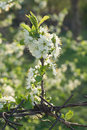 Blossoming spring branch of cherry tree Stock Images