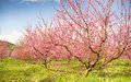 Blossoming spring tree garden richly Stock Image