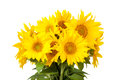Blossoming sunflowers bouquet of on a white background Royalty Free Stock Photography