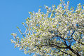 Blossoming tree Royalty Free Stock Photo