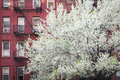 Blossoming tree apartment building manhattan new york city near an old Royalty Free Stock Images