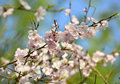 Blossoming tree branch in spring time Stock Images