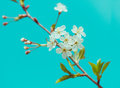 Blossoming tree brunch with white apple or cherry flowers on mint blue sky background Stock Image