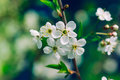 Blossoming tree brunch with white flowers apple or cherry on green and dark blue background macro closeup filter effect Royalty Free Stock Photos