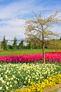 Blossoming tree in park and red and white tulips Stock Image