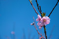 Blossoming tree spring peach flowers against bright blue sky copy space Stock Photos