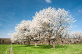 Blossoming trees Stock Image